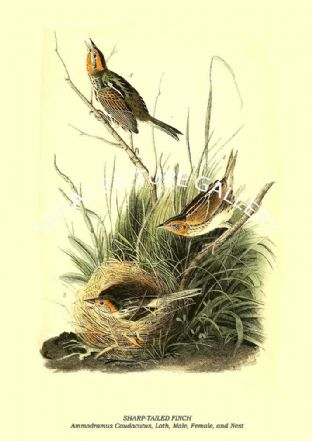 SHARP-TAILED FINCH - Ammodramus Caudacutus, Lath, Male, Female, and Nest